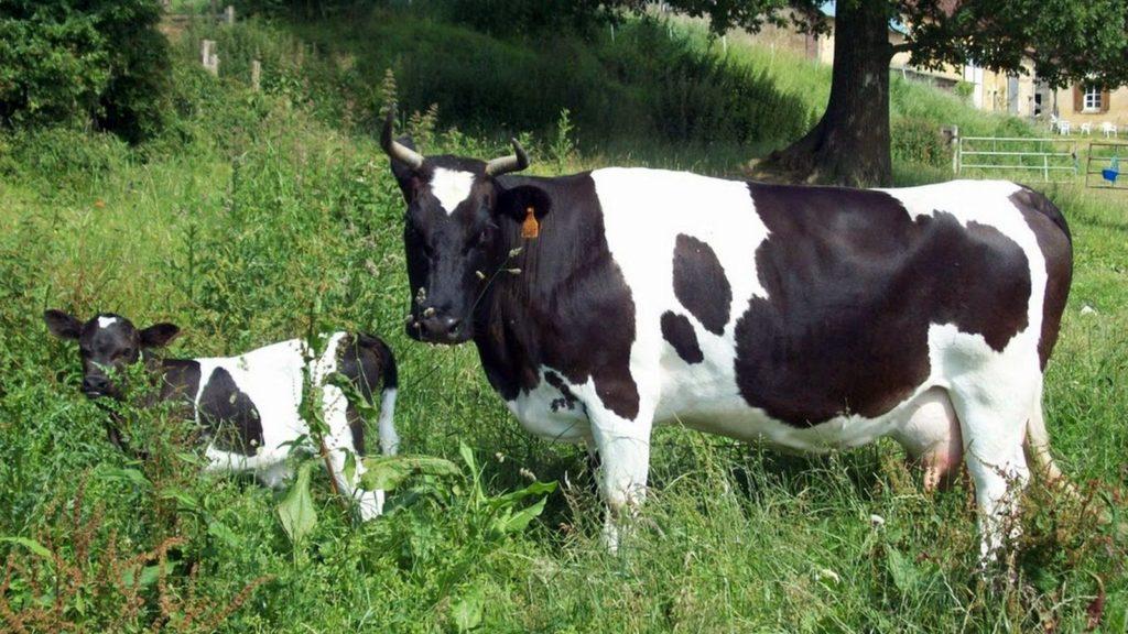 La vache de race Pie noire