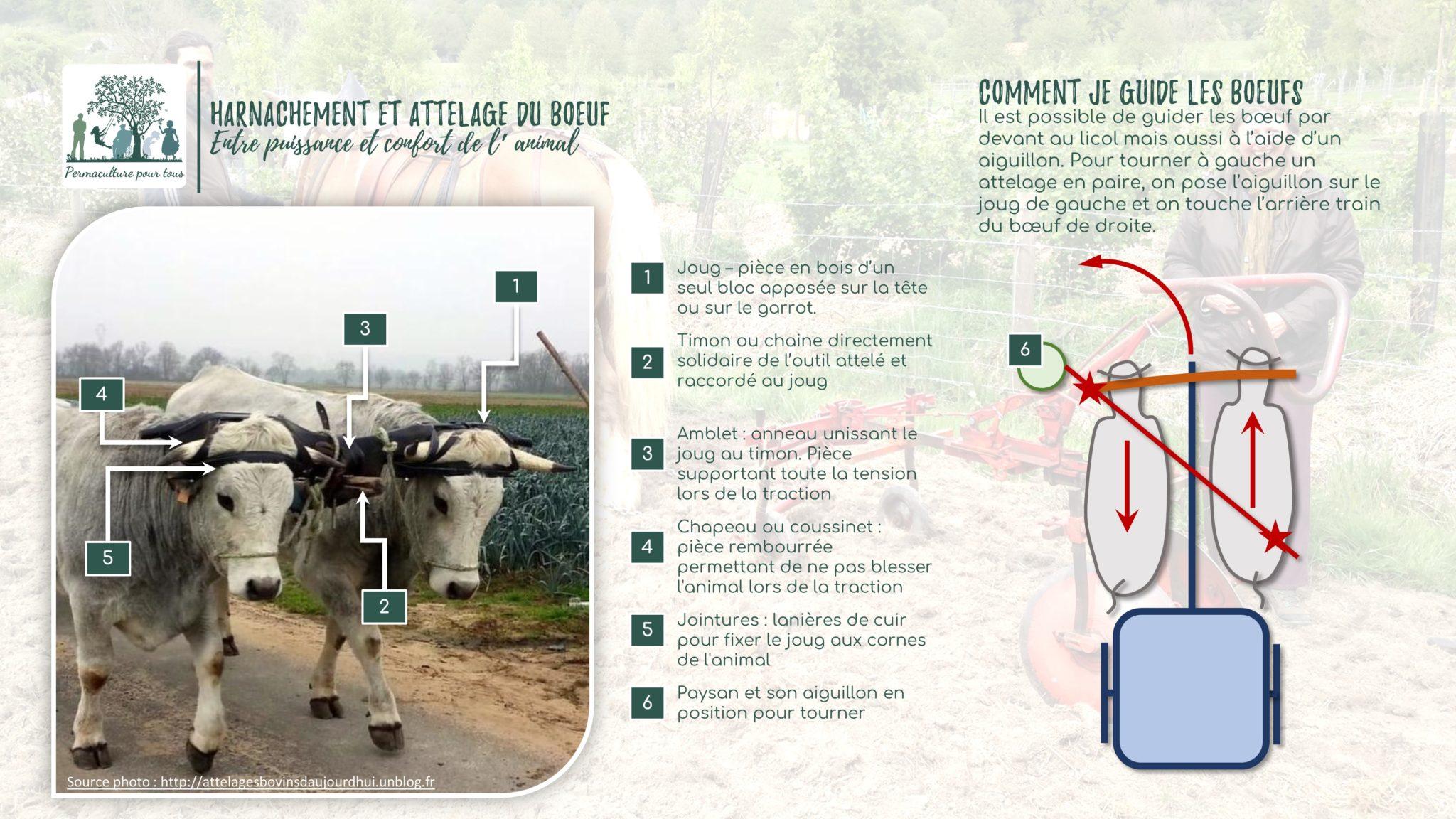 Infographie - Harnachement et attelage des bœufs