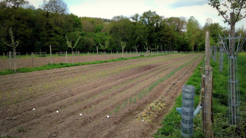 Vue globale du champ travaillé en traction animale
