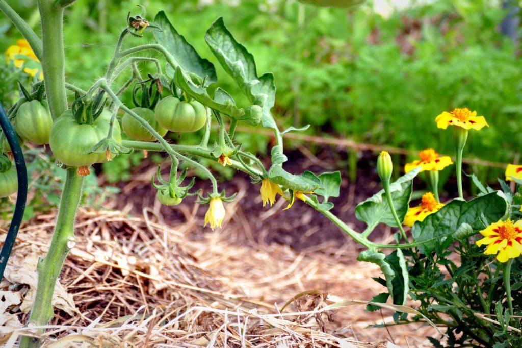 La ferme fin mai - premières tomates