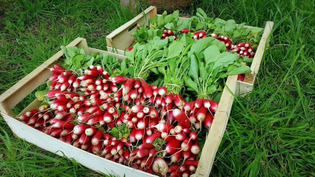 Premières bottes de radis de la ferme.