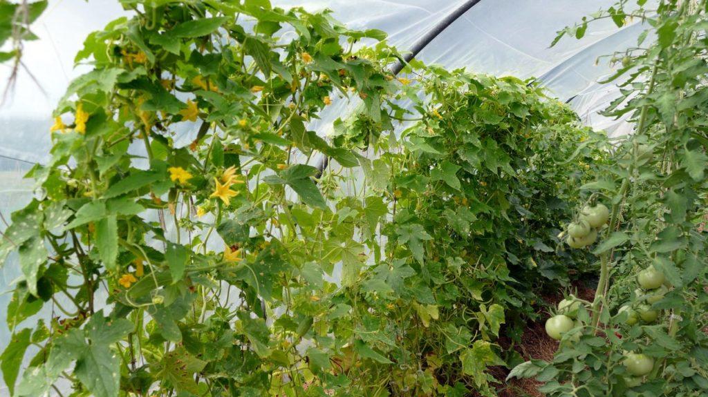 Les plants de cornichons très productifs mais si long à récolter et transformer !