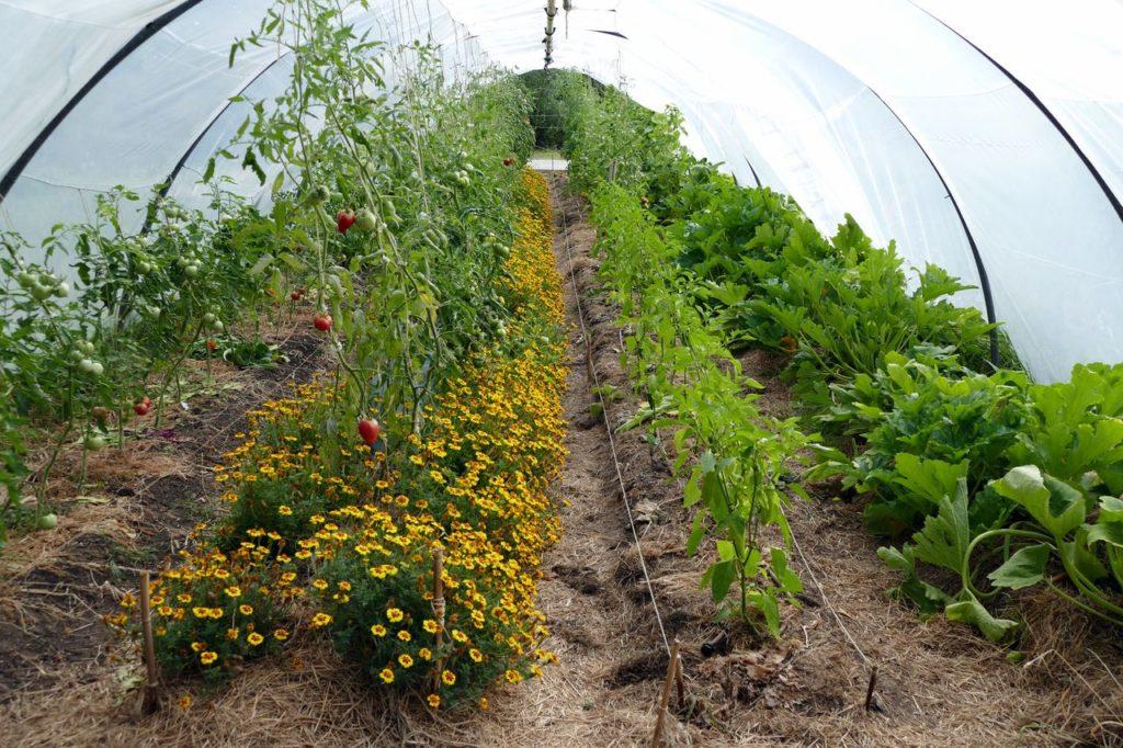 Le jardin achillée à la mi-août