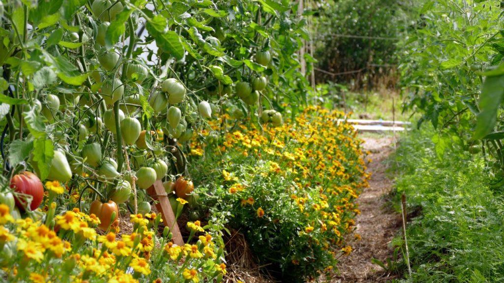 Plants de tomates et œillets d'inde au pied