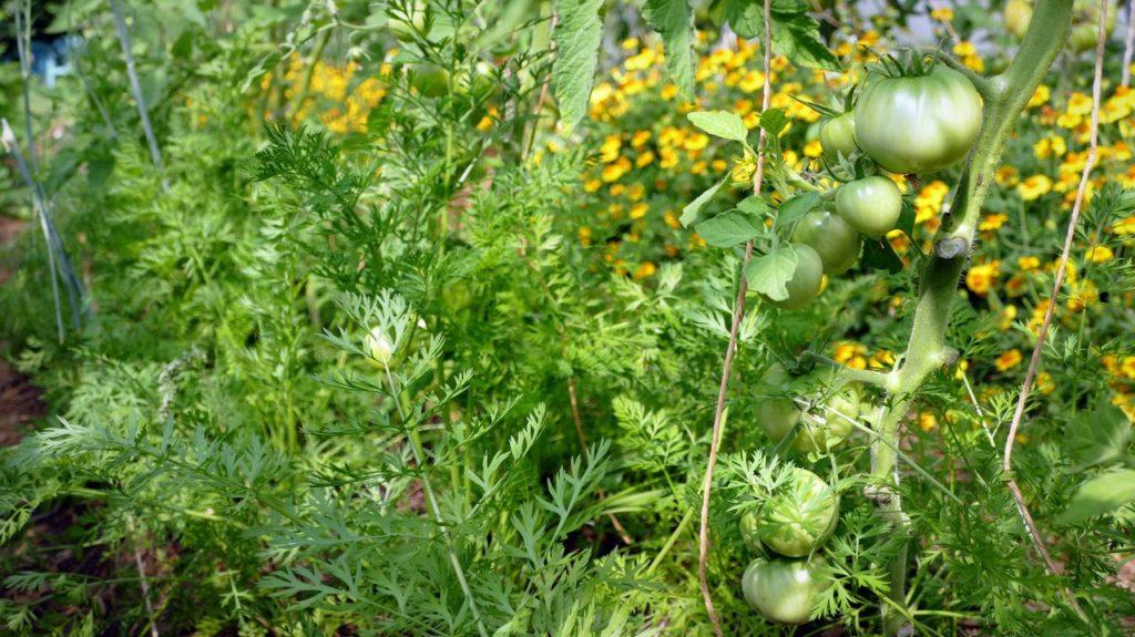 Les tomates se forment au milieu d'une forêt de carottes